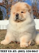 Gallant Chow Chow Puppies for Adoption in Miramar, California