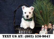 Gallant West Highland White Terrier Puppies for Adoption in Miramar, California