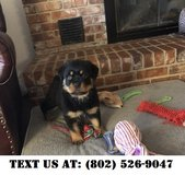 Gallant Rottweiler Puppies for Adoption in Miramar, California