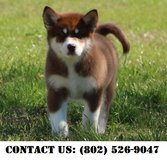 Gallant Alaskan Malamute Puppies for Adoption in Miramar, California