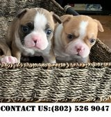Gallant Boston Terrier Puppies for Adoption in Miramar, California