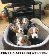 Glowing Beagle Puppies for Adoption in Miramar, California