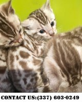 Glowing Bengal Kitten for Adoption in Miramar, California