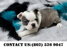 Outstanding Boston Terrier Puppies for Adoption in Jacksonville, Florida