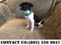 Outstanding Toy Fox Terrier Puppies for Adoption in Jacksonville, Florida