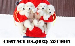Outstanding Samoyed Puppies for Adoption in Jacksonville, Florida