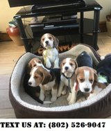 Outstanding Beagle Puppies for Adoption in Jacksonville, Florida