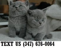 British Shorthair Kittens For sale in Mobile, Alabama