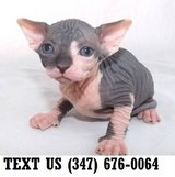 Sphynx Kitten Available Now in Mobile, Alabama