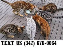 Able Bengal Kittens Available Now in Mobile, Alabama