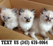 Able Ragdoll kittens Available Now in Mobile, Alabama