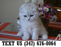 Able Scottish Fold Kittens Available Now in Mobile, Alabama