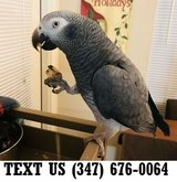 Able African Grey Parrots Available Now in Mobile, Alabama