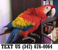 Able Scalert Macaw Parrots Available Now, in Mobile, Alabama