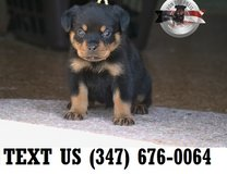 Able Rottweiler Puppies For Sale in Mobile, Alabama