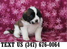 Able Saint Bernard Puppies for Sale in Mobile, Alabama