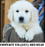 Fascinating Golden Retriever Puppies for Adoption in Brookfield, Wisconsin