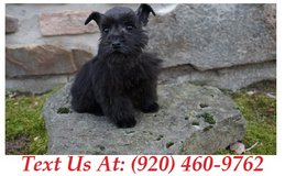 Sweetie Miniature Schnauzer Puppies For Adoption Text us (920) 460-9762 in Brookfield, Wisconsin