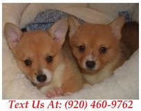 Sweetie Pembroke Welsh Corgi Puppies For Adoption Text us (920) 460-9762 in Brookfield, Wisconsin