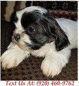 Sweetie Shih Tzu Puppies For Adoption Text us (920) 460-9762 in Brookfield, Wisconsin