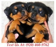 Sweetie Rottweiler Puppies For Adoption Text us (920) 460-9762 in Brookfield, Wisconsin