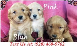 Sweetie Golden Retriever Puppies For Adoption Text us (920) 460-9762 in Brookfield, Wisconsin