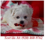 Sweetie Maltese Puppies For Adoption Text us (920) 460-9762 in Brookfield, Wisconsin