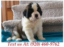 Sweetie Saint Bernard Puppies For Adoption Text us (920) 460-9762 in Brookfield, Wisconsin
