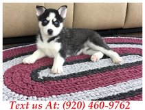 Sweetie Siberian Husky Puppies For Adoption Text us (920) 460-9762 in Brookfield, Wisconsin