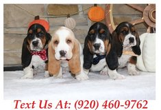 Sweetie Basset Hound Puppies For Adoption Text us (920) 460-9762 in Brookfield, Wisconsin