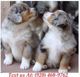Sweetie Australian Shepherd Puppies For Adoption Text us (920) 460-9762 in Brookfield, Wisconsin