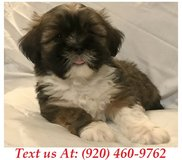 Sweetie Lhasa Apso Puppies For Adoption Text us (920) 460-9762 in Brookfield, Wisconsin