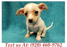 Sweetie Chihuahua Puppies For Adoption Text us (920) 460-9762 in Brookfield, Wisconsin