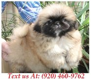 Sweetie Pekingese Puppies For Adoption Text us (920) 460-9762 in Brookfield, Wisconsin