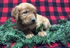 Great Golden Retriever pups..FOR MORE INFO TEXT OR CALL (801) 829-1836 in Fairchild AFB, Washington