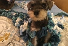 Amazing Miniature Schnauzer pups..FOR MORE INFO TEXT OR CALL (801) 829-1836 in Fairchild AFB, Washington