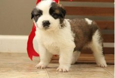 Nice Saint Bernard pups..FOR MORE INFO TEXT OR CALL (801) 829-1836 in Fairchild AFB, Washington