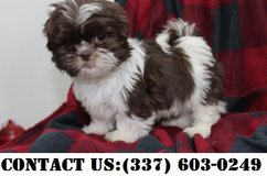 Happy Shih Tzu Puppies for Adoption in Fort Belvoir, Virginia