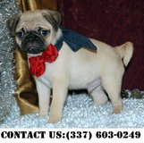 Intense Pug puppies for Adoption in Fort Belvoir, Virginia