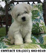 Happy Bichon Frise Puppies for Adoption in Fort Belvoir, Virginia