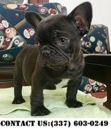 Happy French Bulldog Puppies for Adoption in Fort Belvoir, Virginia