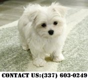 Happy Maltese Puppies for Adoption in Fort Belvoir, Virginia
