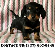Strong Dachshund Puppies for Adoption in Fort Belvoir, Virginia
