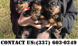 Stunning Rottweiler Puppies for Adoption in Fort Belvoir, Virginia