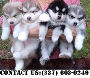 Happy Alaskan Malamute Puppies for Adoption in Fort Belvoir, Virginia