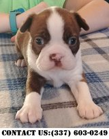 Intense Boston Terrier Puppies for Adoption in Fort Belvoir, Virginia