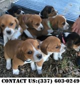 Happy Beagle Puppies for Adoption in Fort Belvoir, Virginia