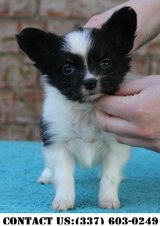 Intense Papillon Puppies for Adoption in Fort Belvoir, Virginia