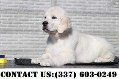 Intense Golden Retriever Puppies for Adoption in Fort Belvoir, Virginia