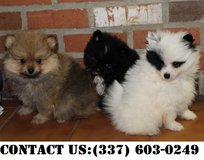 Intensed Pomeranian Puppies for Adoption in Fort Belvoir, Virginia